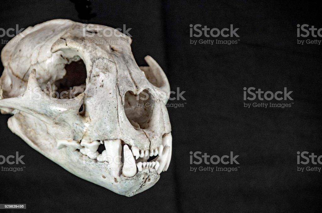 Cougar skull isolated on black background stock photo