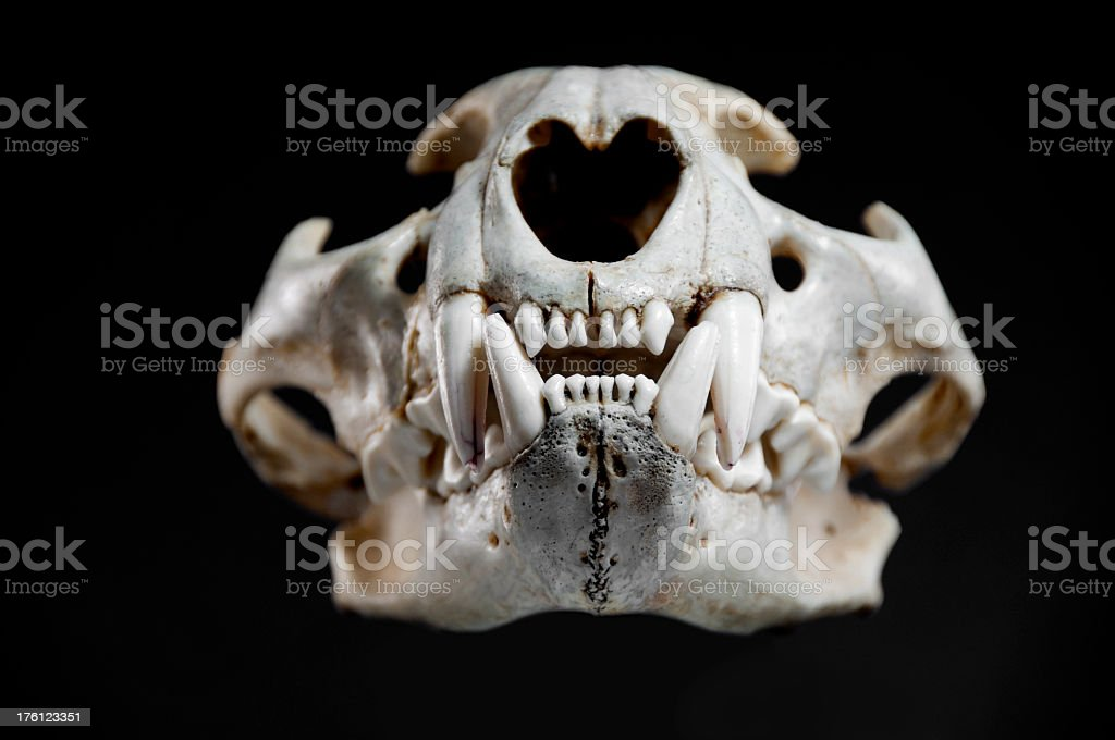 Cougar Skull Mouth Closed royalty-free stock photo