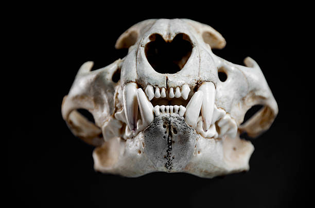 Mountain Lion Skull Stock Photos, Pictures & Royalty-Free