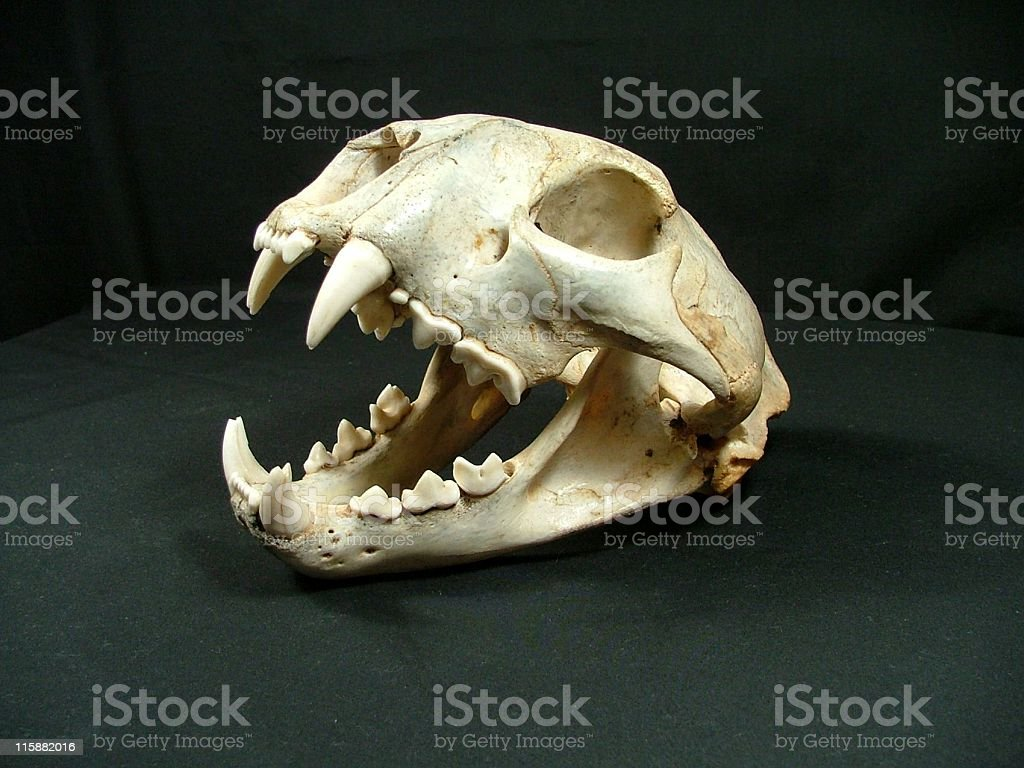 Cougar Skull Showing Canine Teeth stock photo