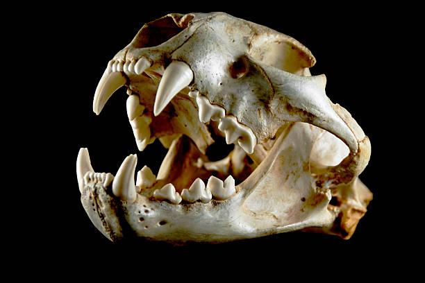 cougar schädel. seitenansicht - schwarzer puma stock-fotos und bilder
