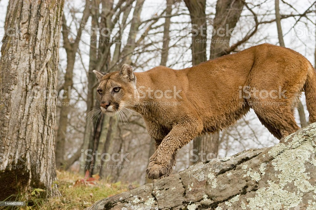 A cougar stalking in the woods royalty-free stock photo