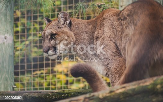 cougar with sharp view Big wild cat Puma concolor ready to attack focus