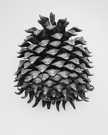 A black and white still life of a Californian Coulter Pine Cone.