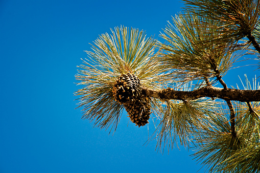 A large spiny cone of the Coulter Pine Tree ( Pinus coulteri), was photographed in the San Bernardino Mountain range, Southern California , near the Coachella Valley, Southern California USA.