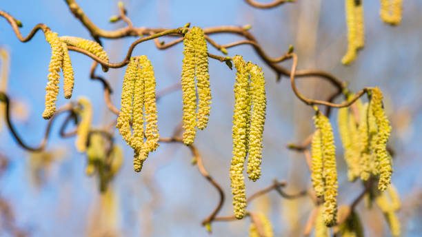 Counting Catkins stock photo