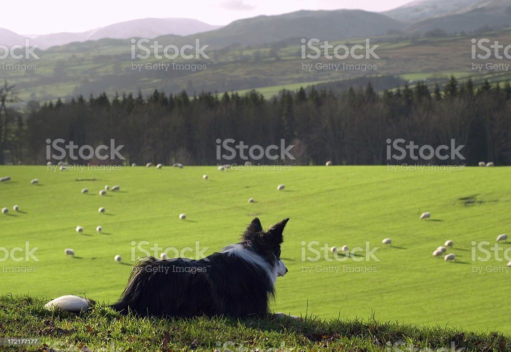 Counting Sheep stock photo
