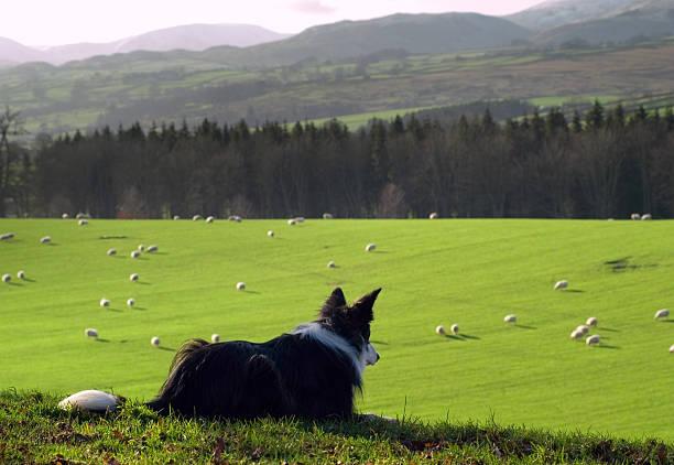 Recuento de ovejas - foto de stock