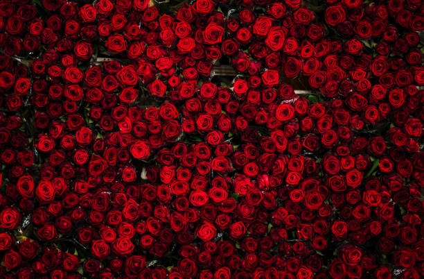 Countless dozens of beautiful red roses on a flower cart, seen from above, at a flower auction The top layer of a flower cart full of roses at a flower auction in Holland, photographed from above. Roses are bright red, and very colorful. rose flower stock pictures, royalty-free photos & images