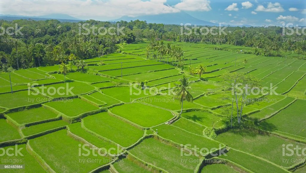 AERIAL: Countless square rice terraces in Ubud creating a charming green pattern stock photo
