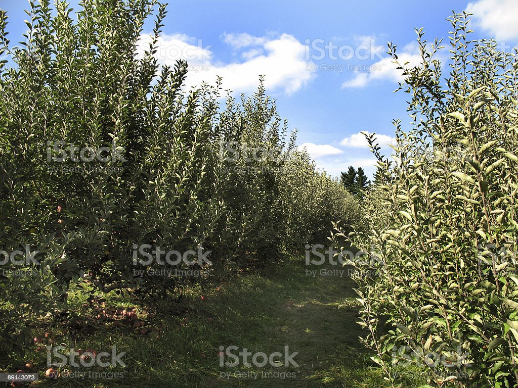 Country Apple Orchard royalty-free stock photo