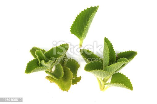 Country Borage,Indian Borage,Coleus amboinicus Lour( Plectranthus amboinicus ) (Lour.) isolated on white background High resolution image gallery.