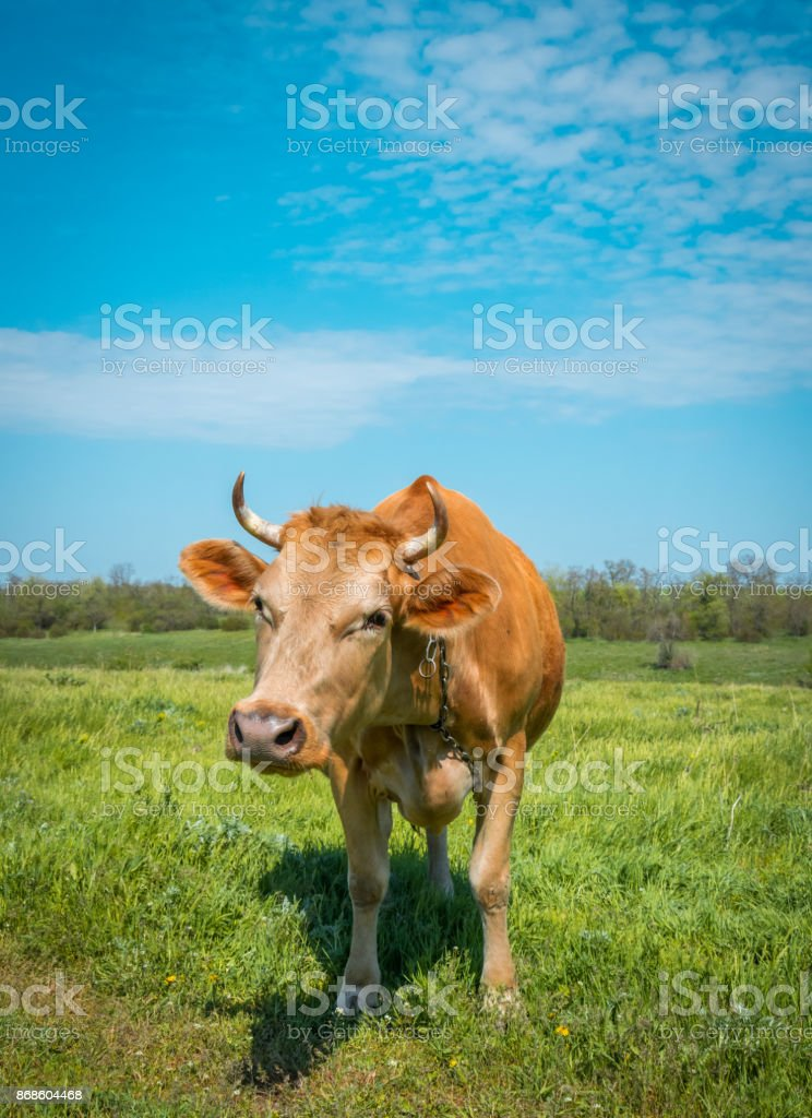 Country dairy farm. Red cow on a green meadow stock photo