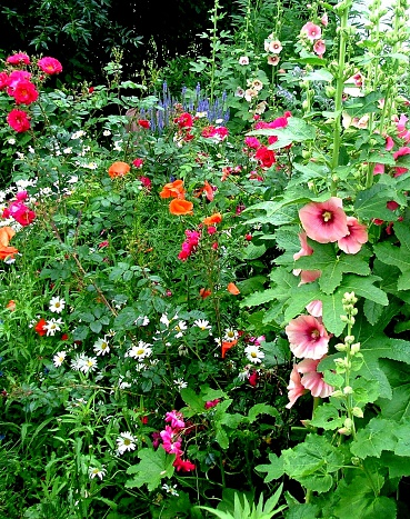 Country Flower Garden with hollyhocks, roses,poppies,and daisies.