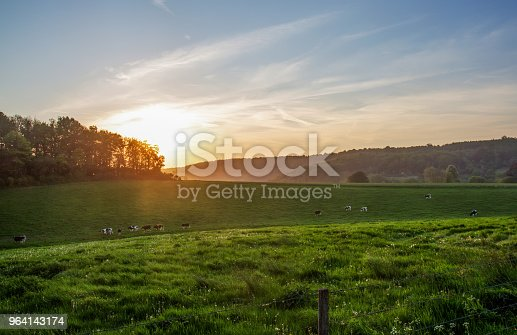 Country idyll  in  Normandy. Cows  walking  and  eating grass. Sunset
