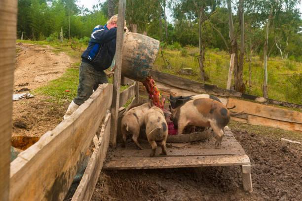 country life -  farmer feeding the pigs - allevatore foto e immagini stock