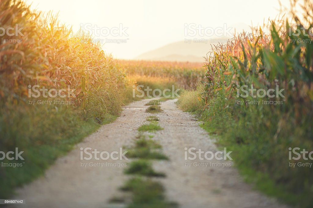 Country road among corn field stock photo
