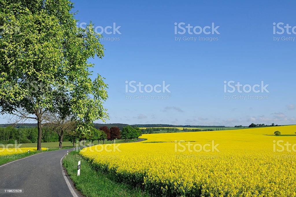 Country road between colorful rape fields royalty-free stock photo