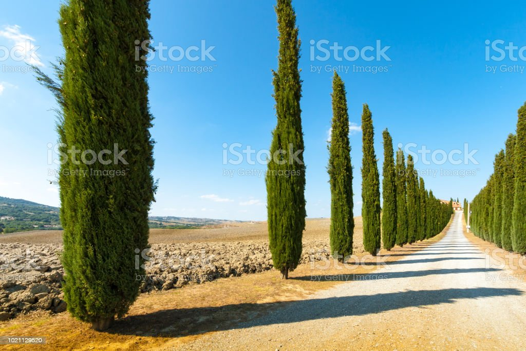 country road flanked with cypresses ascending a hill stock photo