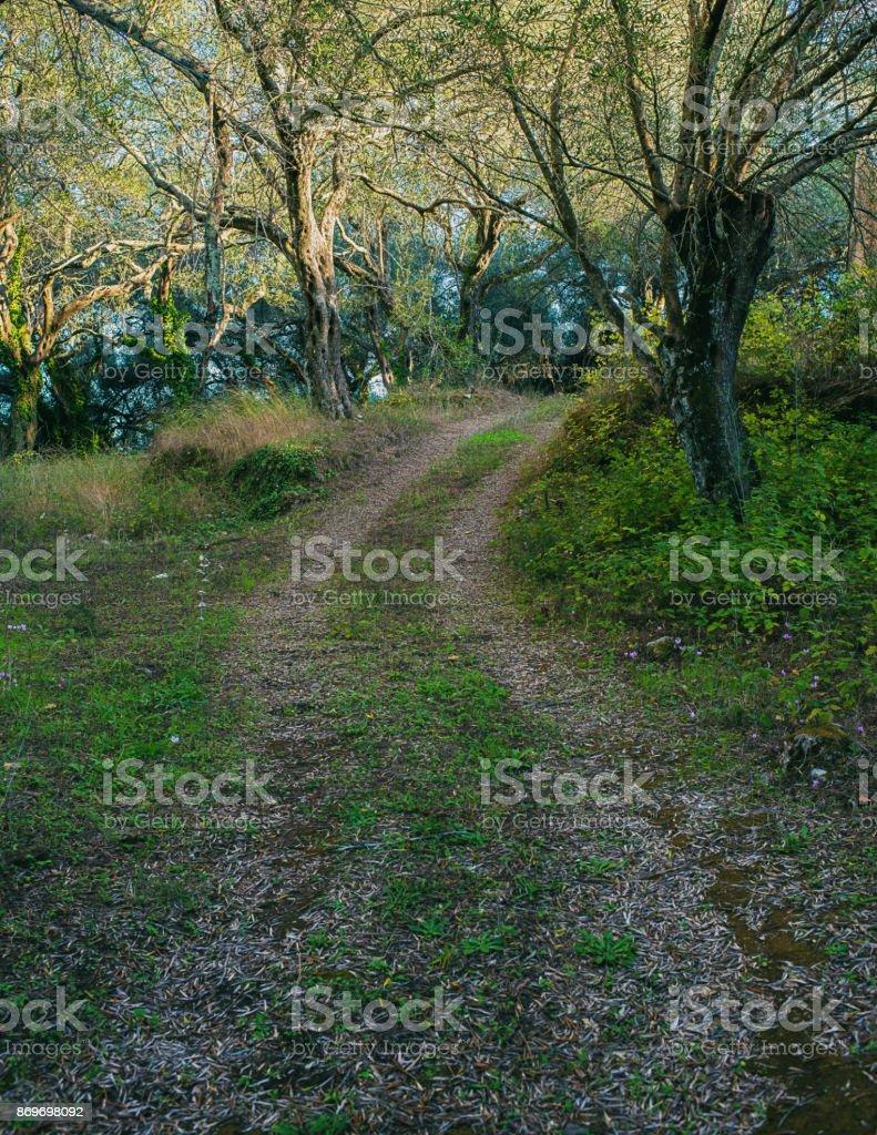 Country road in olive grove. Corfu island, Greece. stock photo
