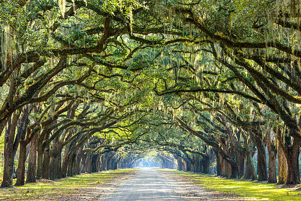 Country Road Lined with Oaks Savannah, Georgia, USA oak tree lined road at historic Wormsloe Plantation. southern usa stock pictures, royalty-free photos & images