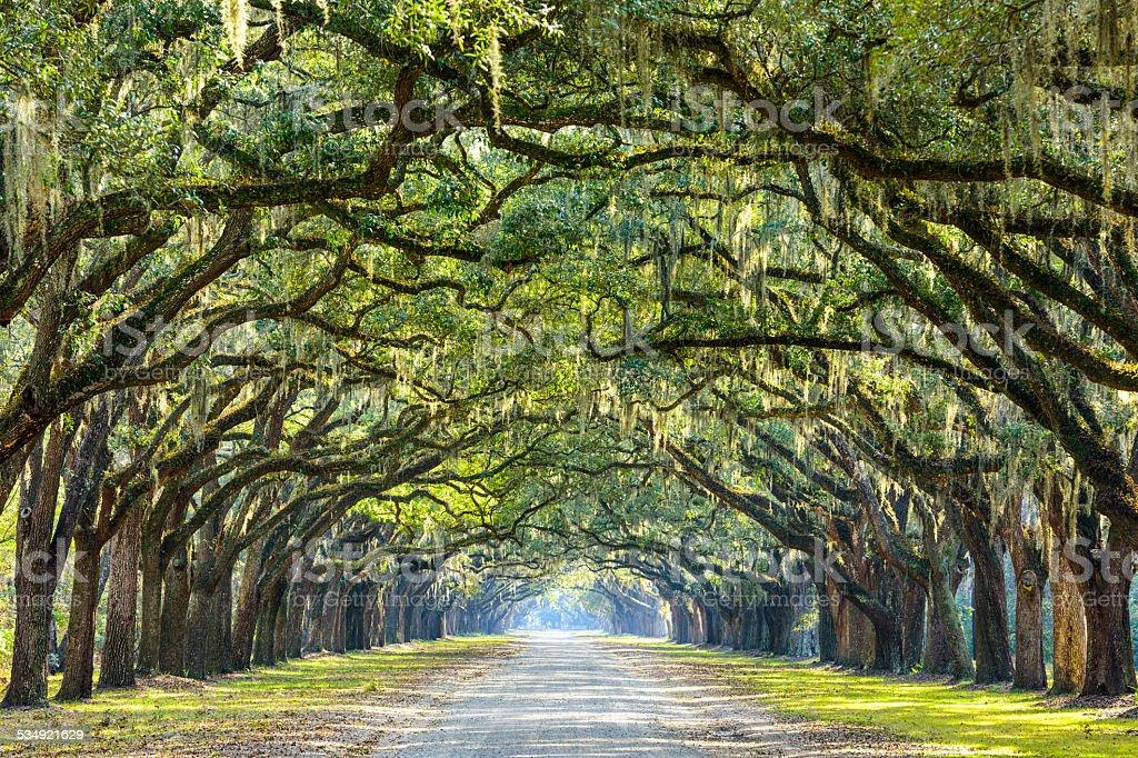 Carretera de campo bordeado de Oaks - foto de stock