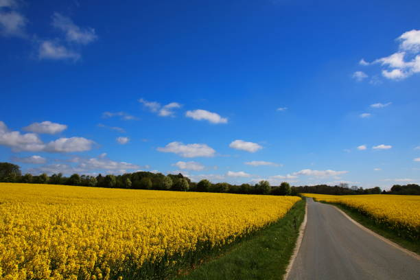 country road passing yellow oil seed rape fields - pejft stock photos and pictures