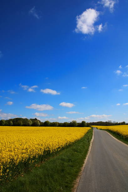 Country road passing yellow oil seed rape fields stock photo
