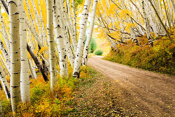 country road through canopy of autumn aspen trees stock photo