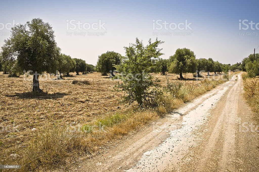 Country Road through Fields of Olive Trees, Southern Italy stock photo