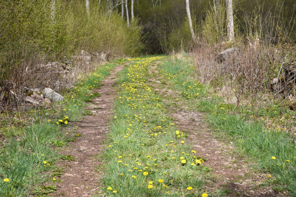 Country road with green grass and blossom dandelions stock photo