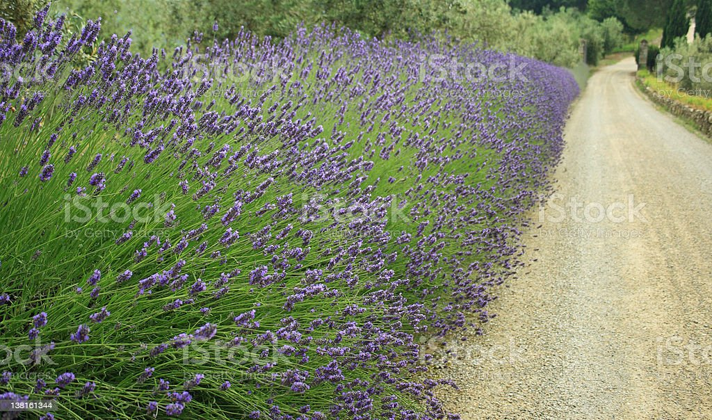 Country road with violet lavender flowers royalty-free stock photo
