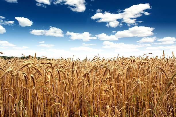 Kraj pszenicy pole pod błękitne niebo – zdjęcie