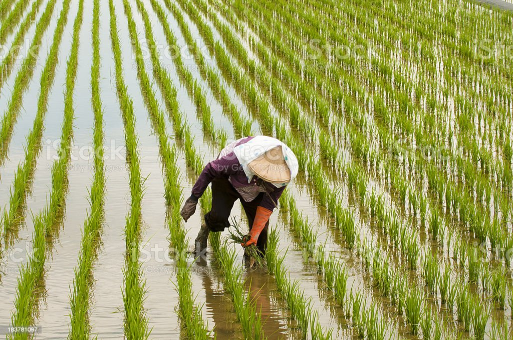 Country woman on rice field stock photo