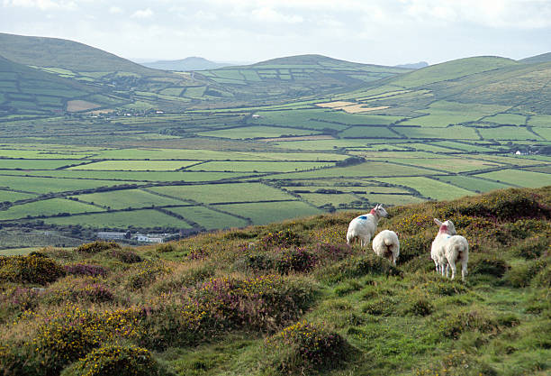 Countryside and sheeps in Ireland stock photo
