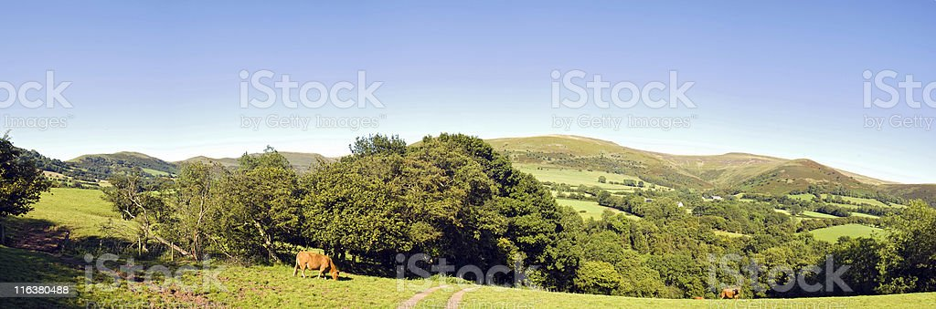 Countryside cows. stock photo