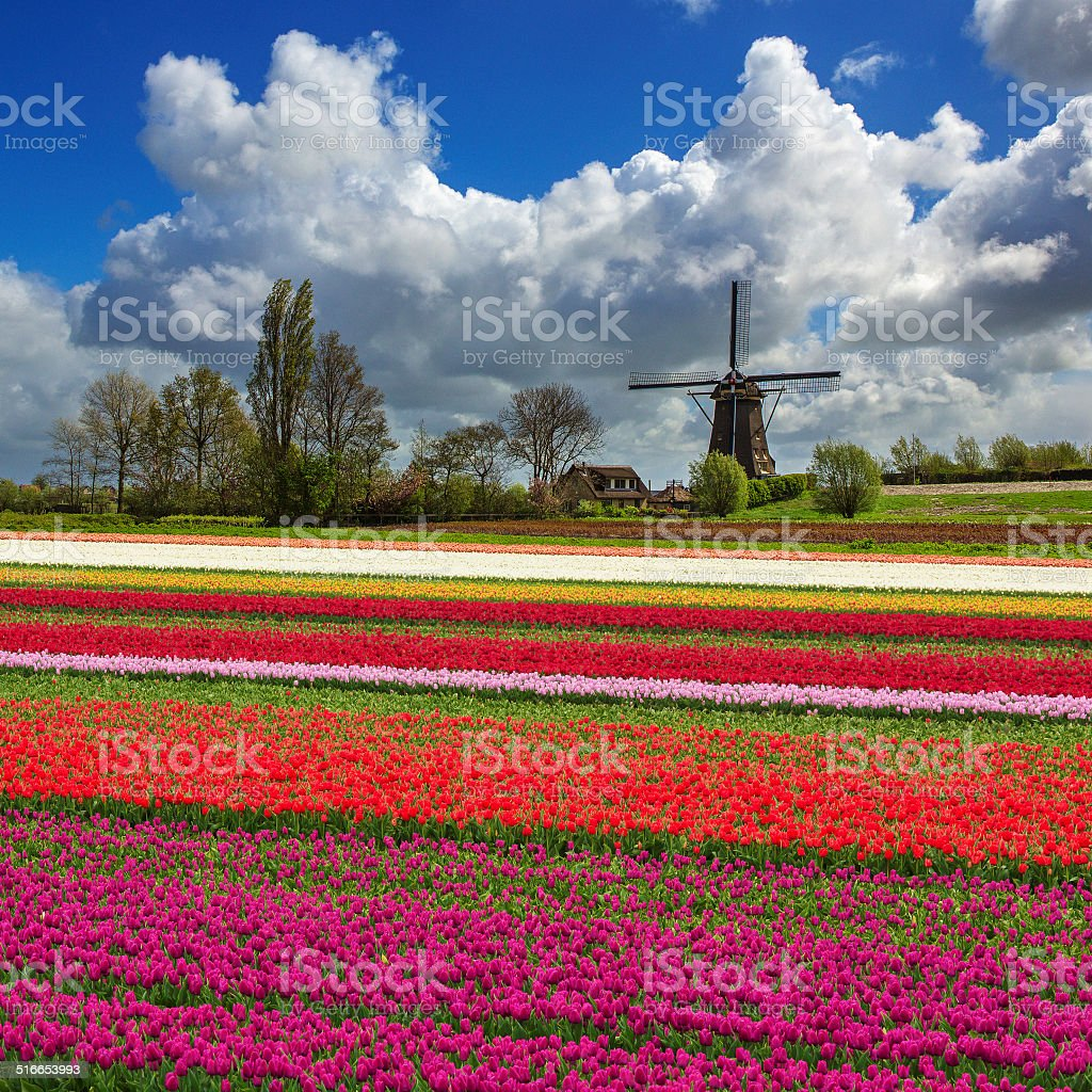 Countryside in the Netherlands with tulip fields. stock photo