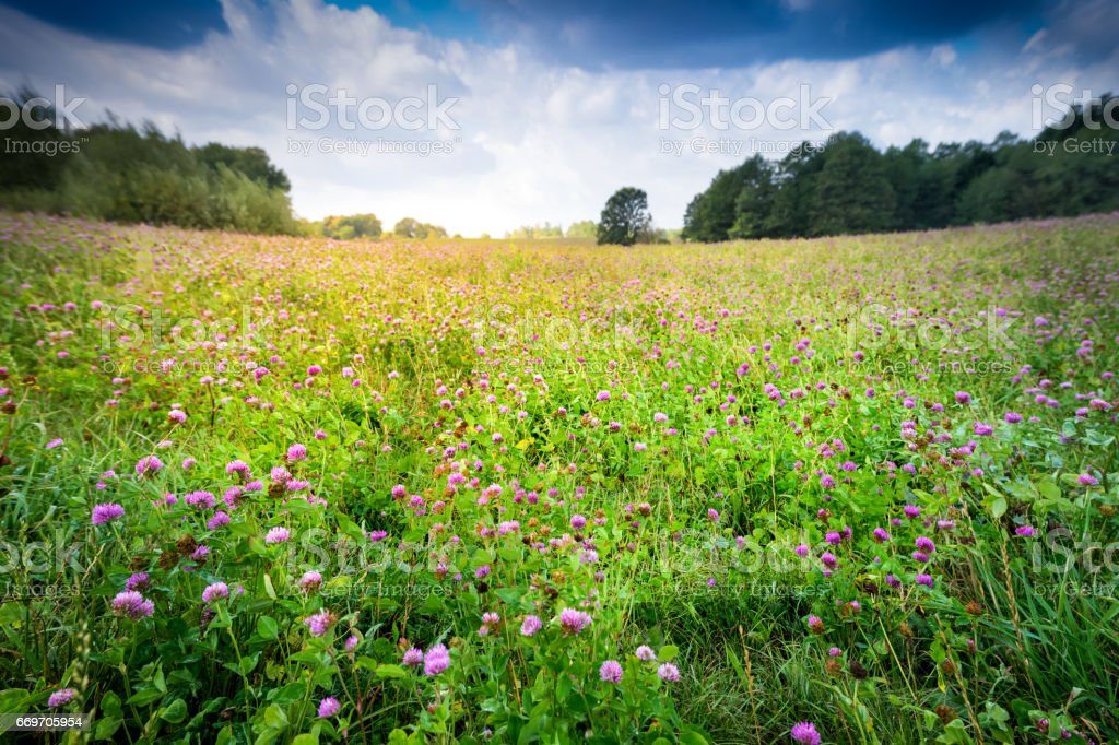 countryside meadow covered with alfalfa perspective stock photo
