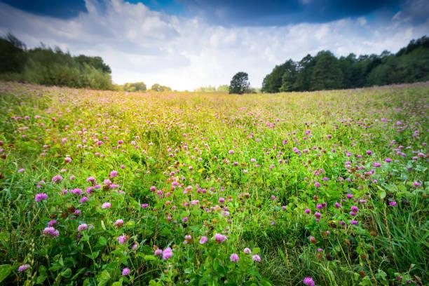countryside meadow covered with alfalfa perspective - erba medica foto e immagini stock