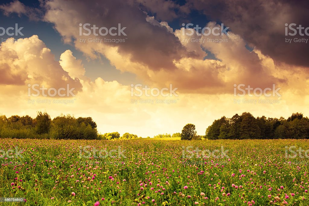 countryside meadow covered with alfalfa res stock photo