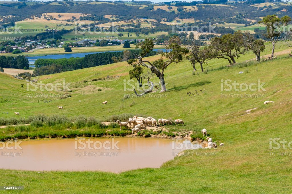Countryside paddock with sheep near the dam, lake on sunny day stock photo