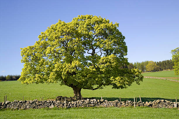 Countryside scene Countryside in in spring sycamore tree stock pictures, royalty-free photos & images
