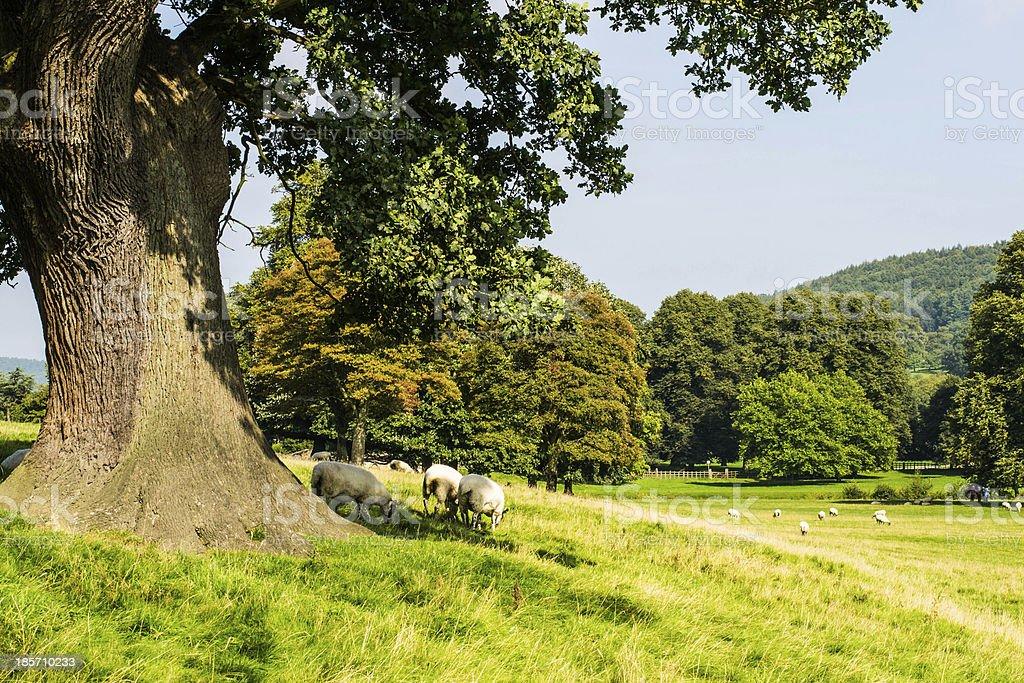 Countryside sheep royalty-free stock photo