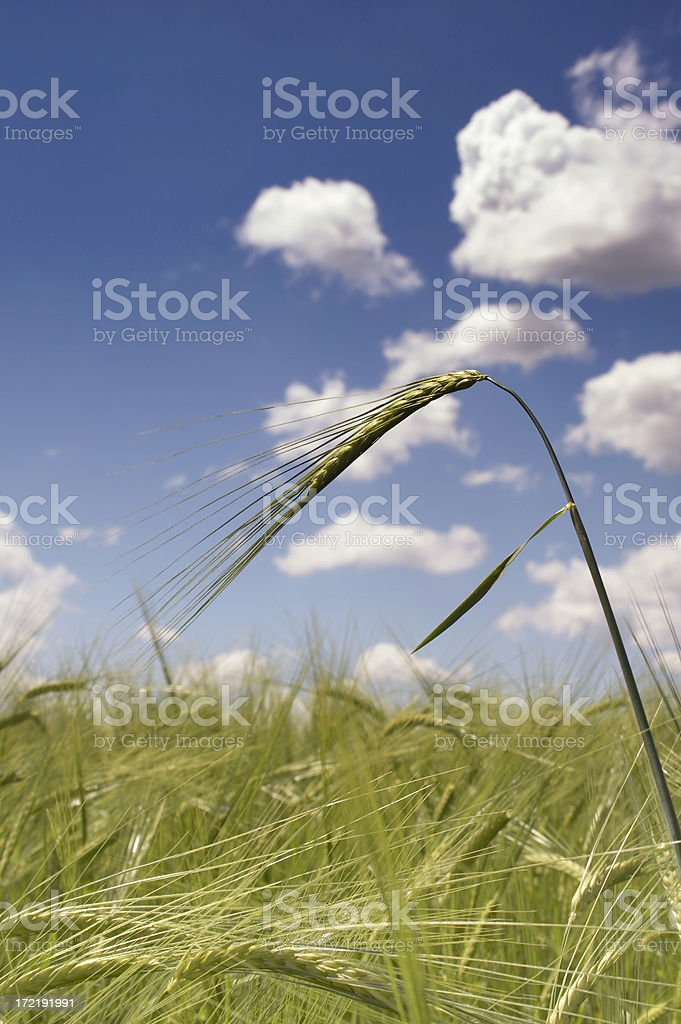 Countryside Wheat field royalty-free stock photo
