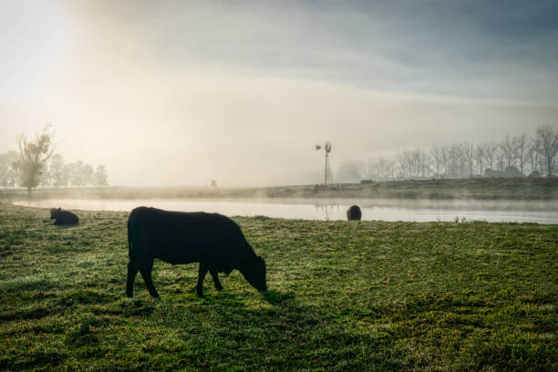 Countryside_foggy_morning_cows_grazing stock photo