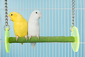 Couple bird parrot parakeet forpus american yellow and white color in cage on blue background