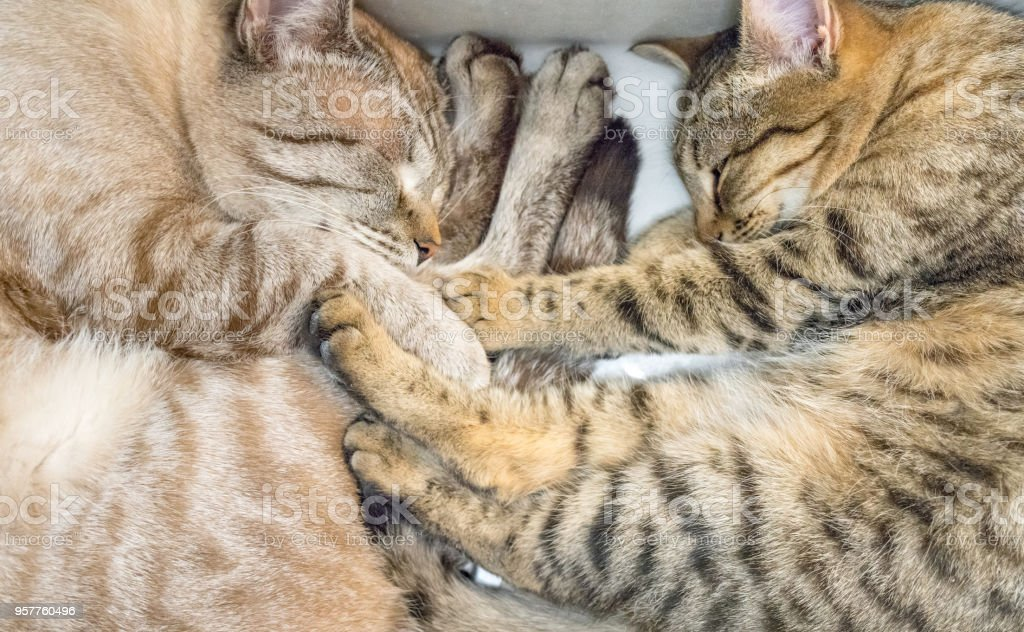 Two domestic cats are resting together. The cats are sleeping in the...