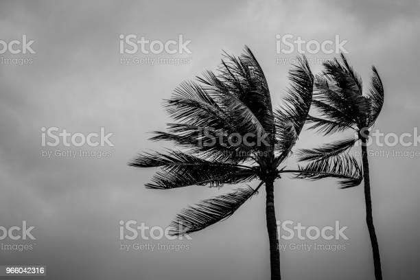Пара Кокосовой Пальмы В Дождливый День — стоковые фотографии и другие картинки Чёрно-белый