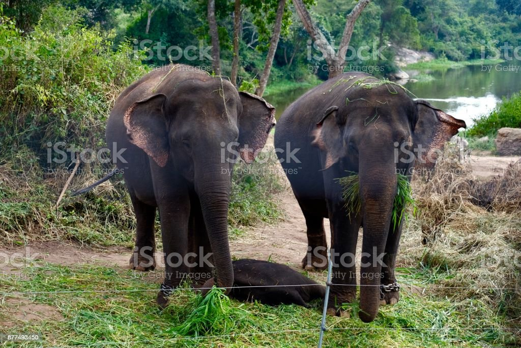 Couple elephants in jungle forest stock photo