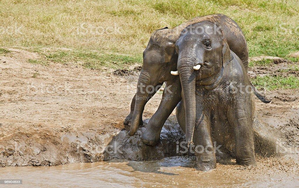 Couple elephants in mud. royalty-free stock photo